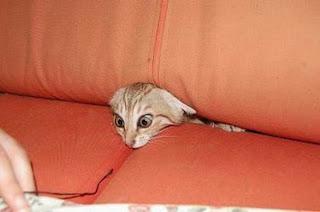 Gato preso no sofá