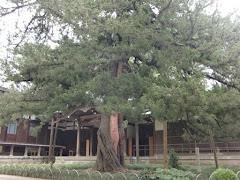 円覚寺ビャクシン