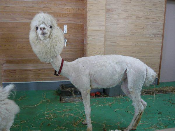 funny animal pics, animal photos, shaved alpaca