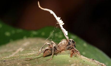 Ophiocordyceps fungus