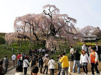 شجرة فى اليابان مازالت تثمر وهى عمرها 1000عاما !!!!