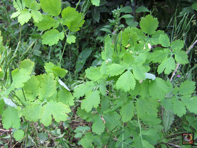 Chelidonium majus (celidonia mayor, planta del yodo, hierba golondrinera)
