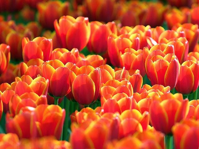 Foto Gambar Bunga Tulip Warna Orange