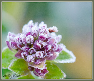 Oregano flowers, hit by frost - photo by Shelley Banks