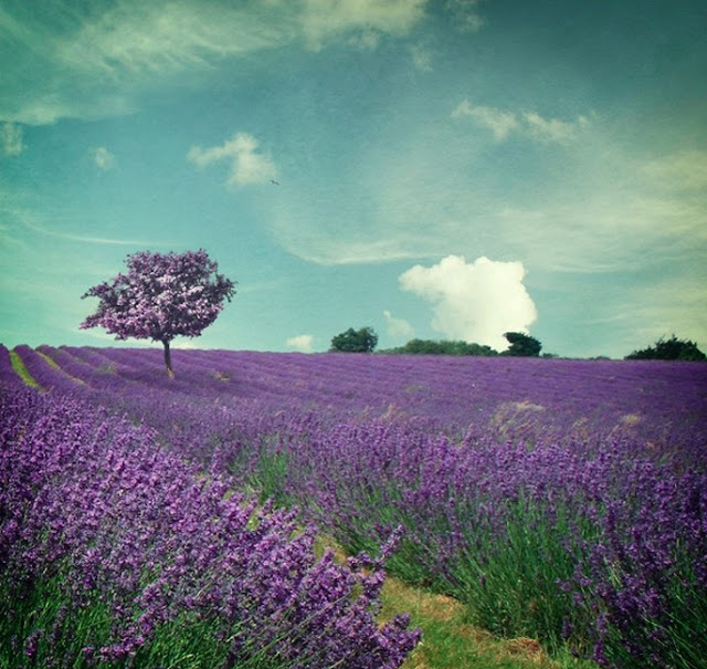 pretty purple lavender field