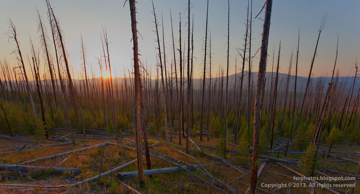 burnt out forest Yellowstone National Park Wyoming US sunset fire 1988 trees standing