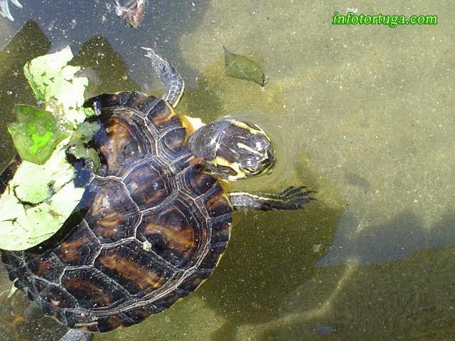 Un zoo en casa trachemys scripta scripta tortuga de - Estanques para tortugas ...