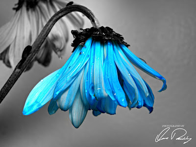 blue flower, flowers, wilt, wilting, dead, sad, water, rain drop, drops, art, autumn, background, beautiful, beauty, black, bloom, blossom, brown, close, dead, death, decoration, design, die, dry, faded, flora, floral, flower, flowers, garden, gift, gold, grunge, isolated, leaf, life, love, melancholy, nature, old, paper, pattern, petal, pink, plant, retro, romance, romantic, rose, sad, sadness, sepia, stem, sun, vintage, white, wilted, wither, wood, yellow