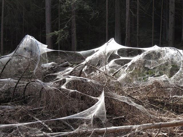 Drop Bear Growls Spiders Do Not Make Angel Hair