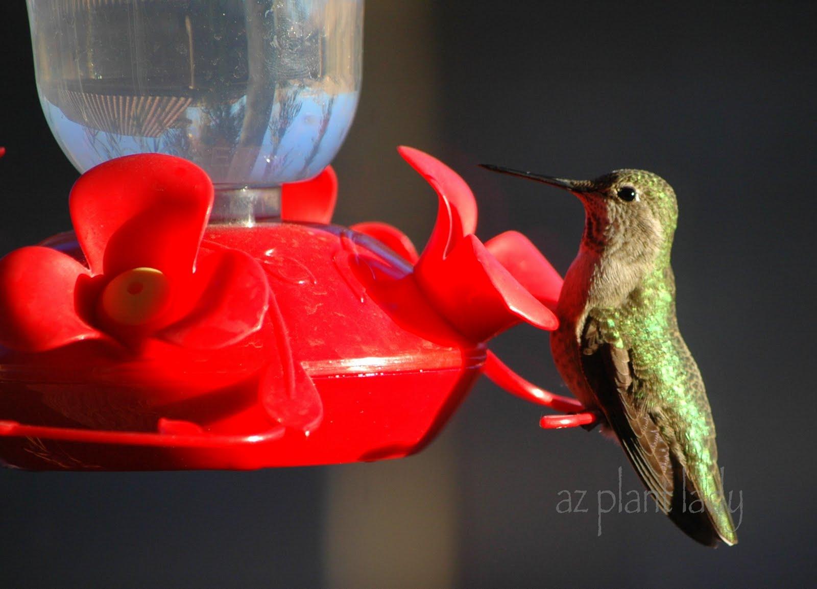 Cómo alimentar y atraer a los colibríes a su jardín: TipNut.com