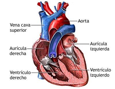 Imagen del Corazón con los nombres de sus partes