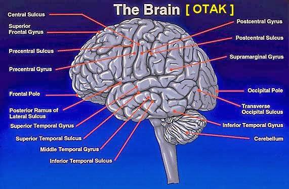 informasi makanan sehat untuk mencerdaskan otak manusia yang bisa Anda konsumsi mulai dari sekarang. Otak merupakan salah satu organ yang penting dimiliki manusia. Hampir seluruh aktivitas kita dikendalikan oleh perintah otak, maka tidak heran jika otak mengalami gangguan maka seluruh organ tubuh akan mengalaminya pula.