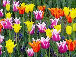 tulip wallpaper
