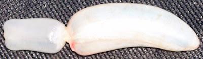 kantung udara  (swim bladder) ikan laut dalam