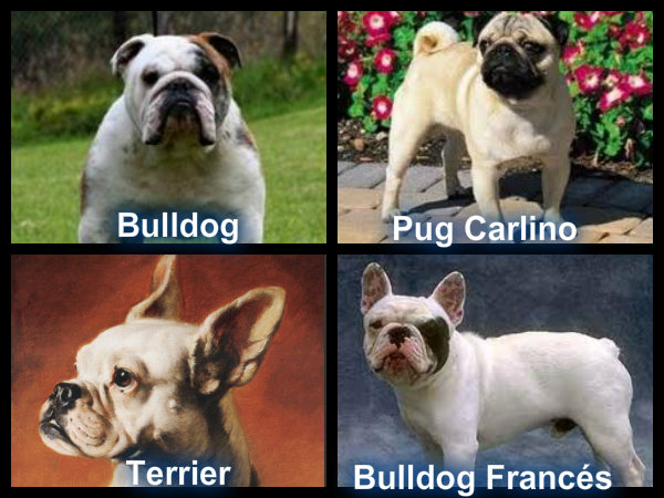 ... breeds pics of dog breeds very small dog breeds dog breeds by size