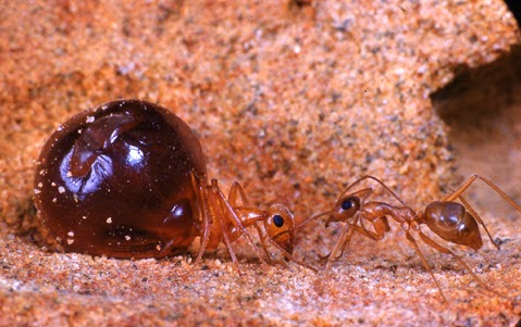 Honeypot Ants