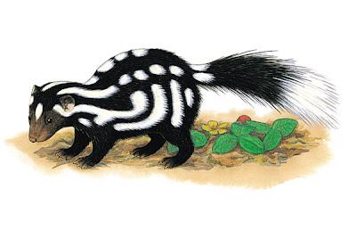 zorrillo manchado Spilogale putorius