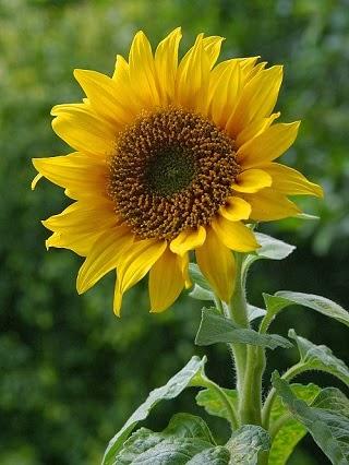 Taman Bunga Bunga Matahari Dan Manfaatnya