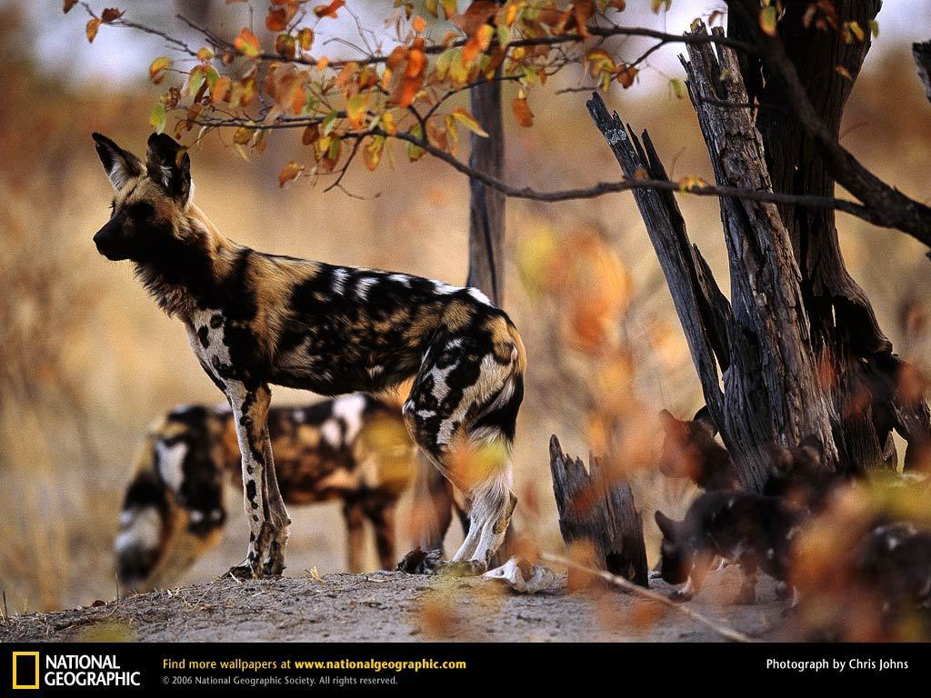 Amazing African Animals: Amazing African Wild Hunting Dog