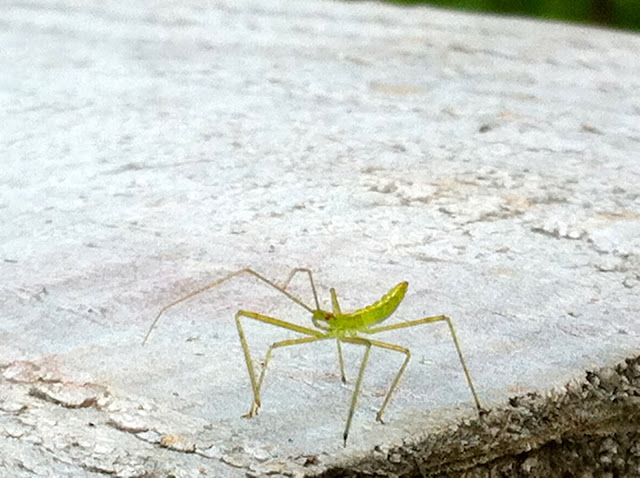 Baby-Praying-Mantis-Close-up