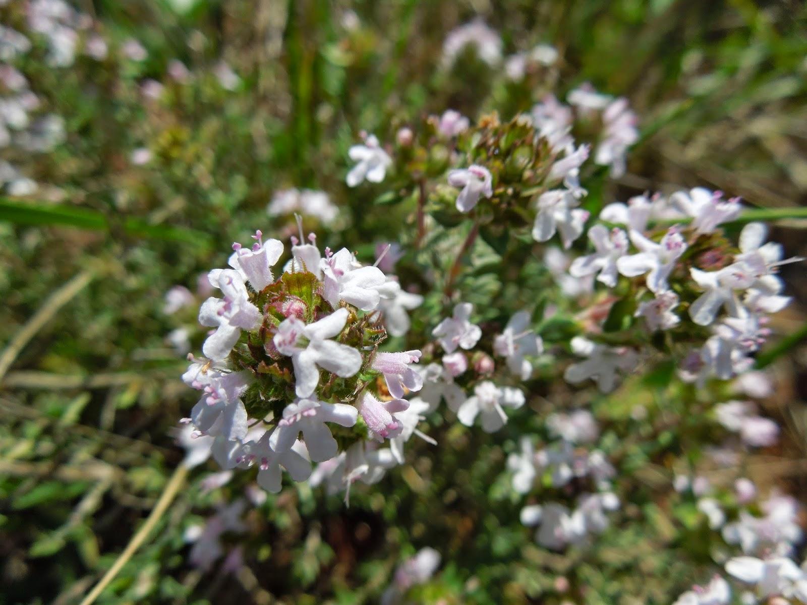 Unas flores silvestres - BOTÀNIC SERRAT