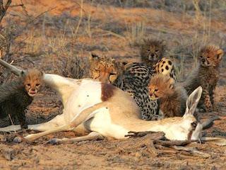 Foto Induk Cheetah Memberi Makan Bayi Cheetah