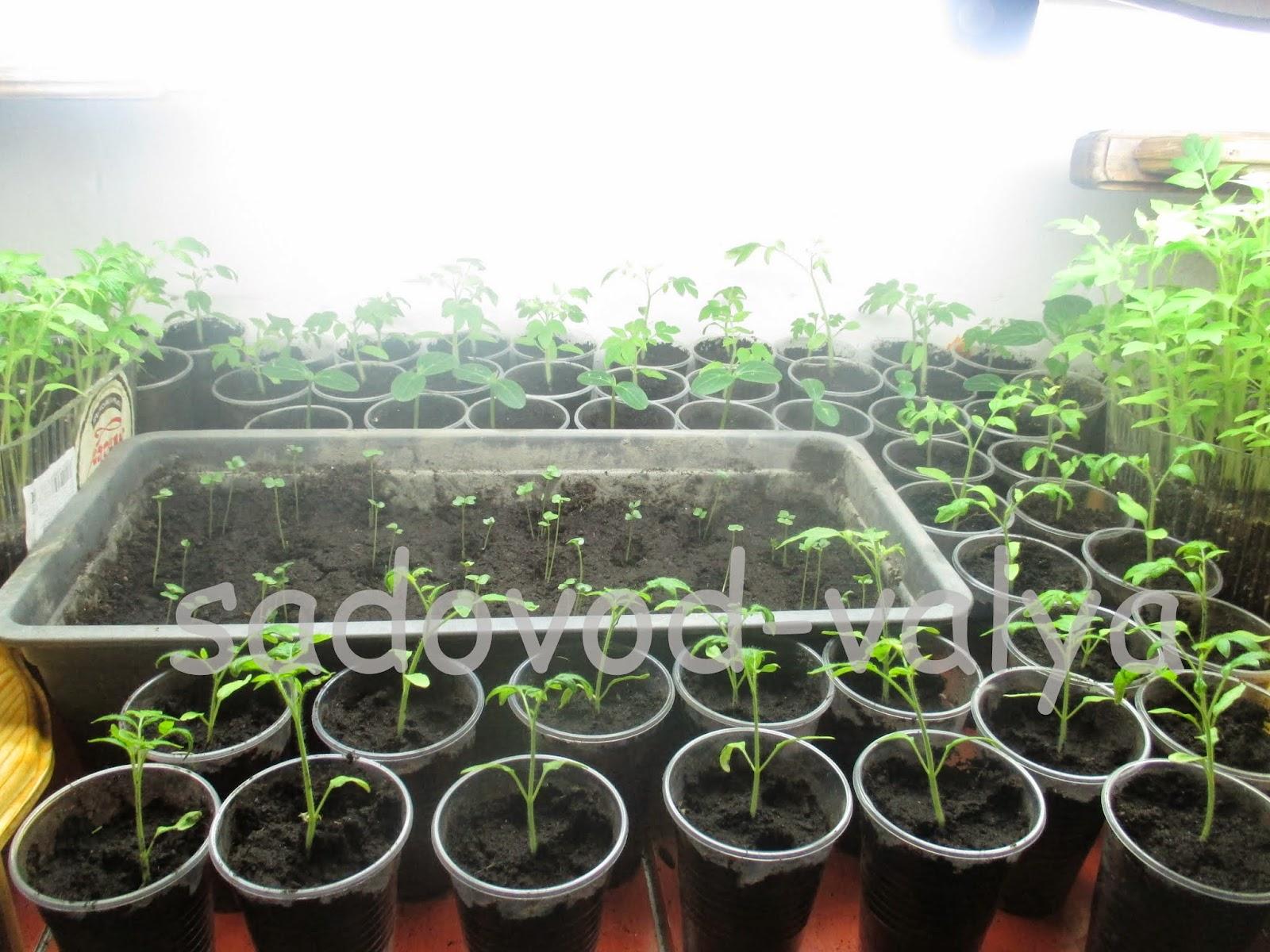 Как вырастить репчатый лук за один год