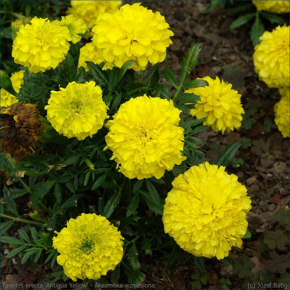 Tagetes erecta 'Antigua Yellow' - Aksamitka wzniesiona 'Antigua Yellow' kwiaty