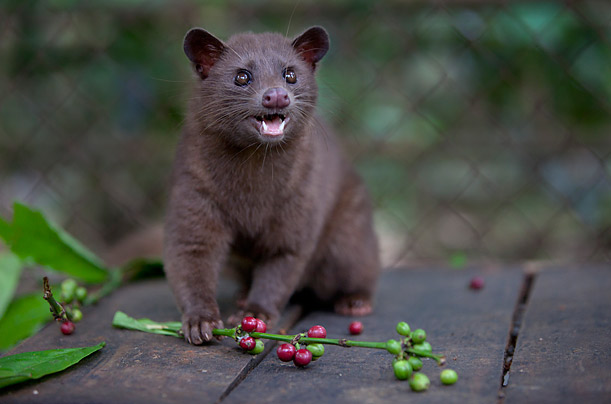 Civet coffee - photo#26