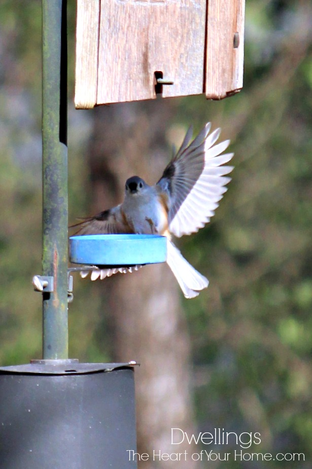 tufted titmouse comes in for a landing