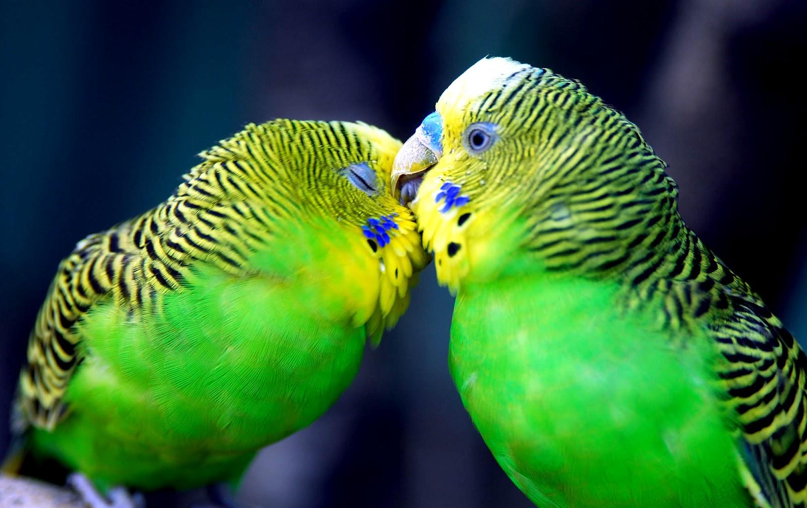 Cute Love Birds Kissing