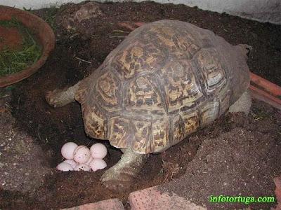 Hembra de Stigmochelys pardalis poniendo huevos