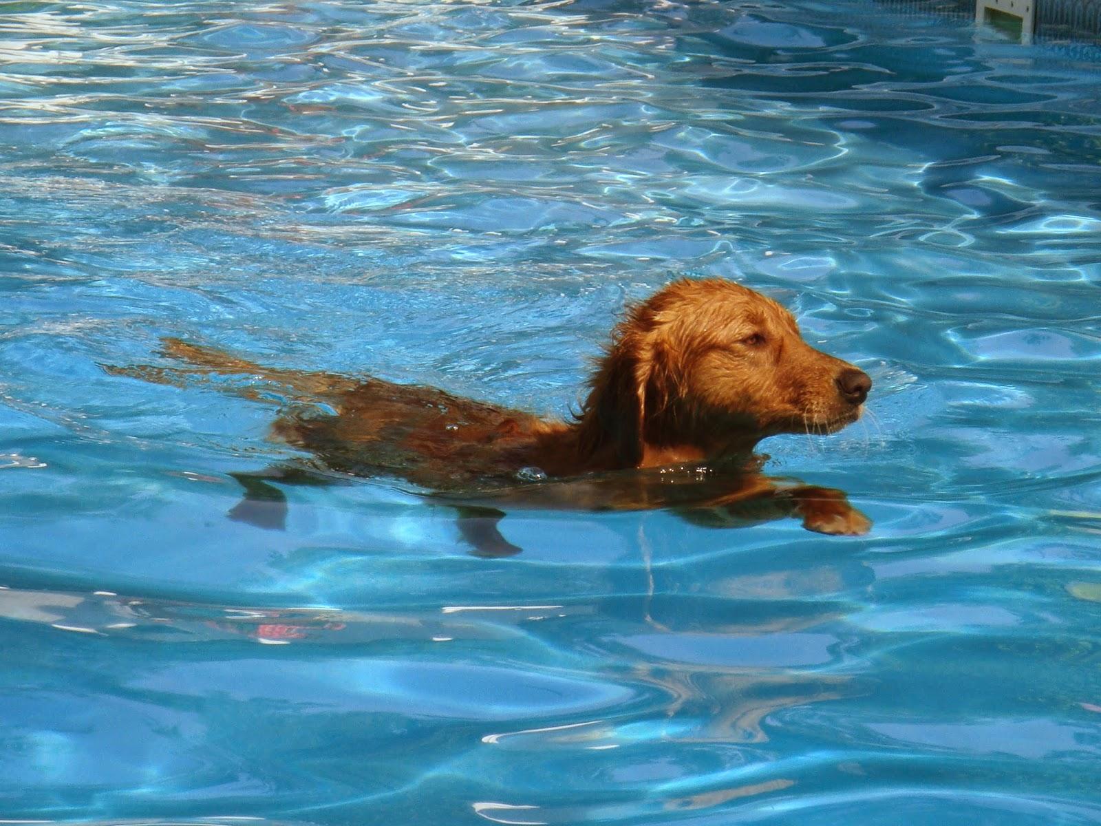 dog in pool swimming