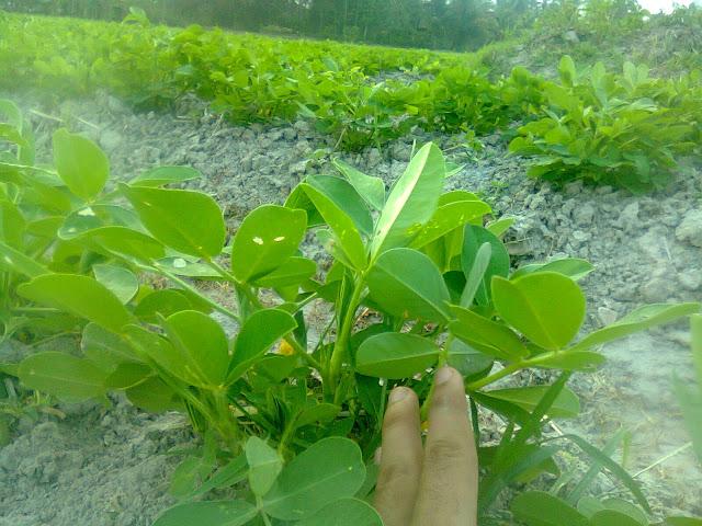 Tanaman Kacang Tanah Sehat Karena Kultur Teknis