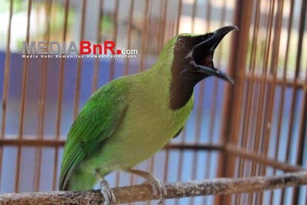 Foto Burung Cililin Terbaik