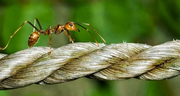 Uma formiga imortal numa corda