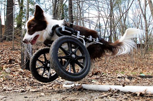 Thumbnail image for Physical Therapy Tip Of The Month: Wheeled Carts Keep Them Doggies Rollin' (Part I)