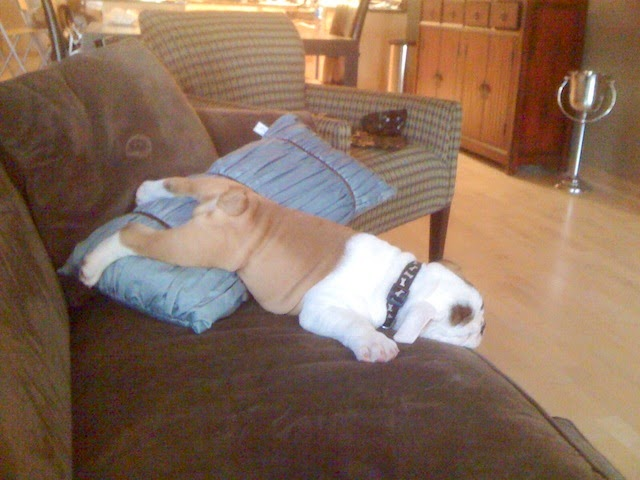cute bulldog puppy sleeping