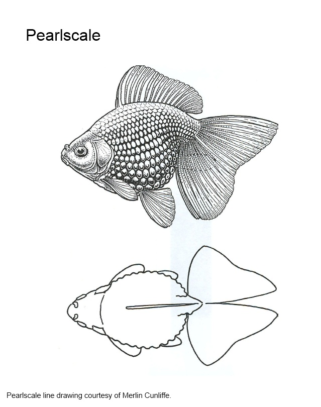Goldfish varieties standards solid gold aquatics for Do all fish have scales