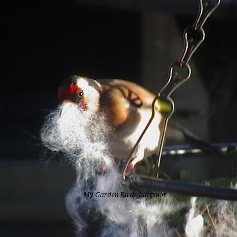 Goldfinch Pictures number 5