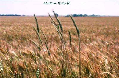 Znalezione obrazy dla zapytania przypowieść o pszenicy i chwaście Mt