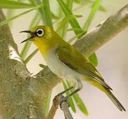 Tips Merawat Burung Pleci atau Kacamata