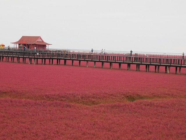 panjin red beach 82 من أجمل شواطئ العالم '' الشاطئ الأحمر '' في مدينة بانجين بالصين