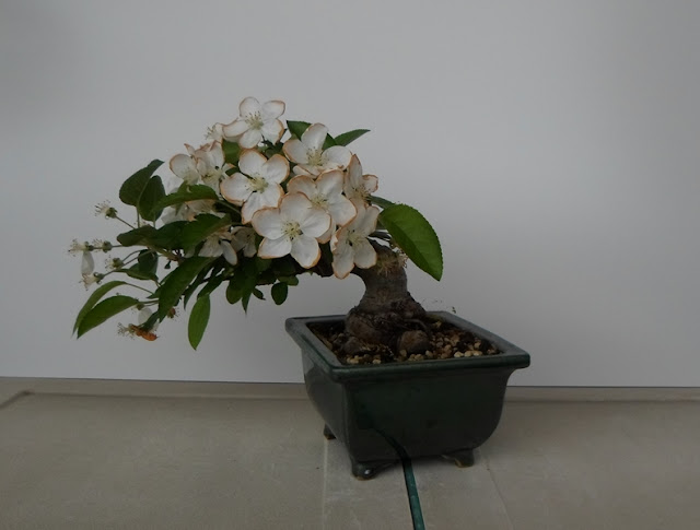 malus bonsai