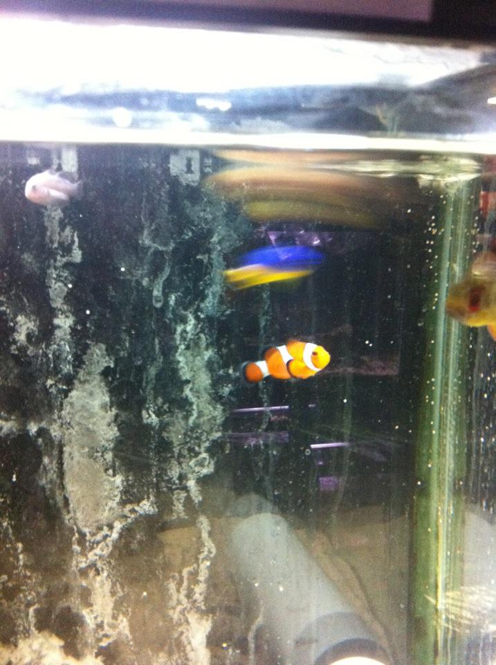Pet shop 101 bony fish clown fish for Clown fish scientific name