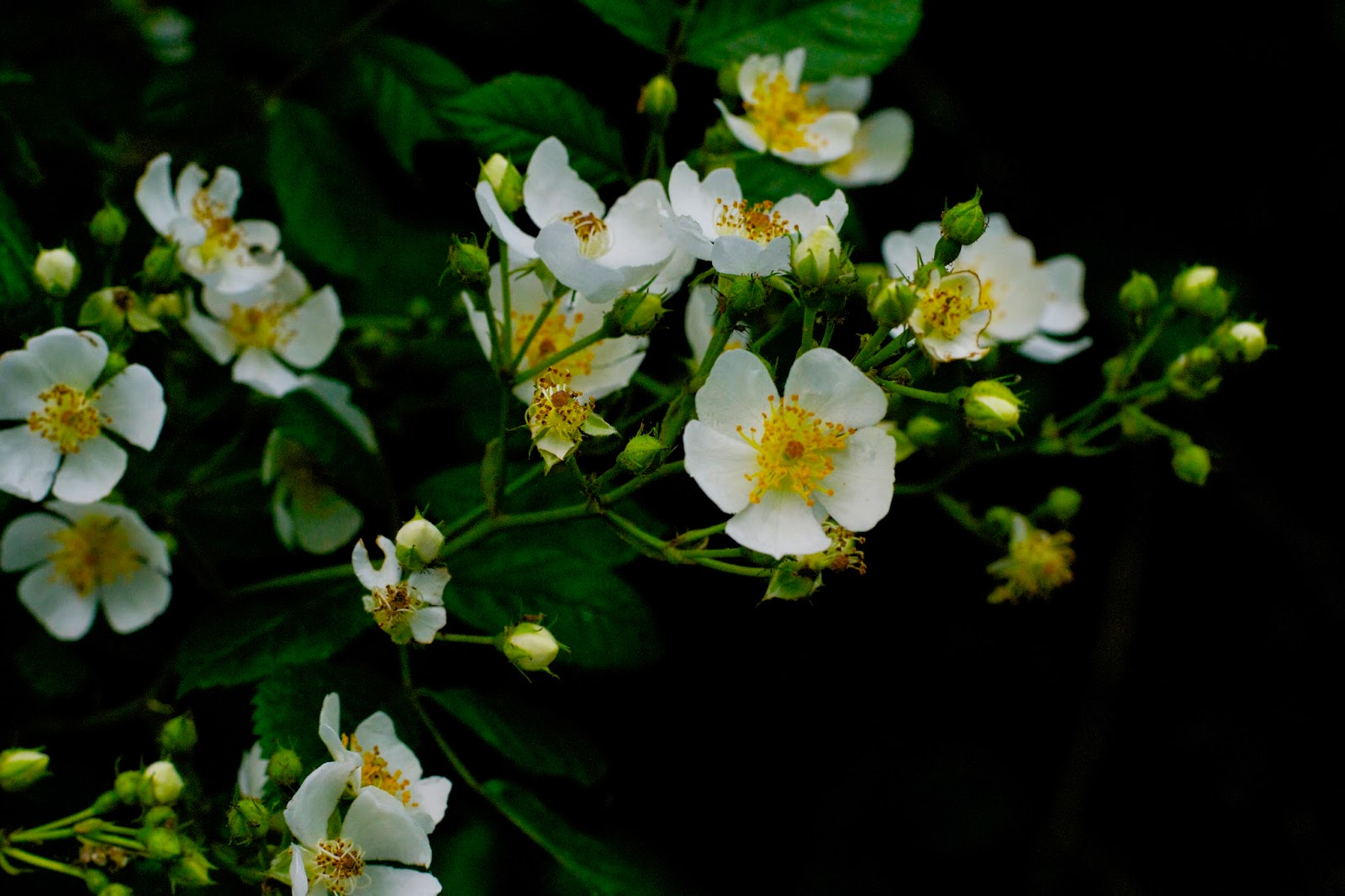 Wild roses while out walking the dogs.