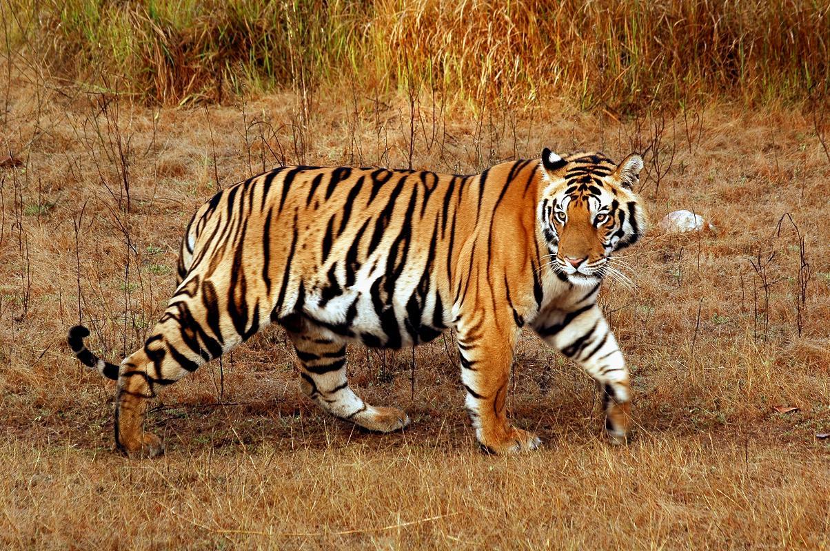 Tigers New HD Desktop Wallpaper 2013