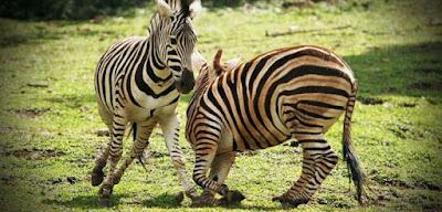 Bercanda dengan hewan liar di Taman Safari