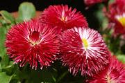 Imágenes de flores y plantas: Bellis daisy bellis perennis