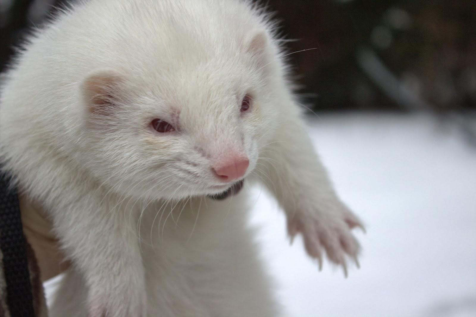 Kenelle fretti sopii lemmikiksi ferret albiino fretti